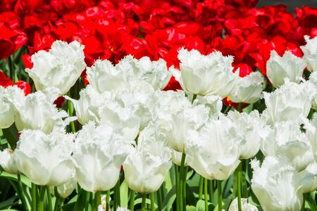 holland: Blooming white and red tulips in lawn, selective focus, in Keukenhof park in Netherlands, Europe