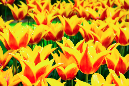 holland: Blooming yellow-red tulips in lawn, selective focus, in Keukenhof park in Netherlands, Europe