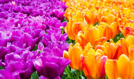 holland: Blooming violet and yellow tulips in lawn, selective focus, in Keukenhof park in Netherlands, Europe Stock Photo