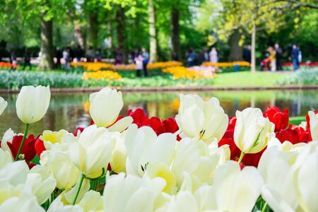 holland: Blooming white and red tulips with park in the background in Keukenhof park in Netherlands, Europe