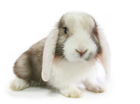 Sallander rabbit mini end white ears and gray silver body. Cute bunny on white background.