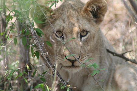 savana: Lion  Stock Photo