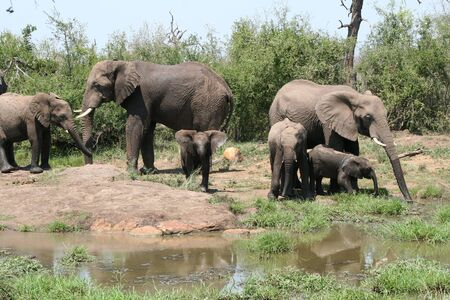 savana: African Elephants