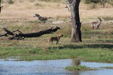 savana: Lion hunting