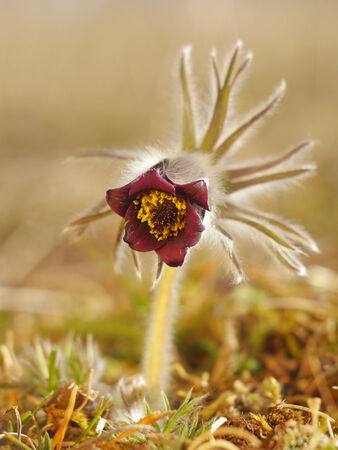 Rare Spring Flower Pulsatilla photo