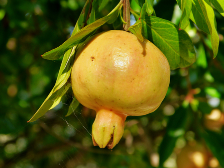 Pomegranate on a tree in Greece. photo