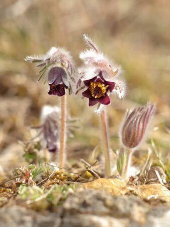 pulsatilla: Pasque Flower in the morning light - Pulsatilla pratensis