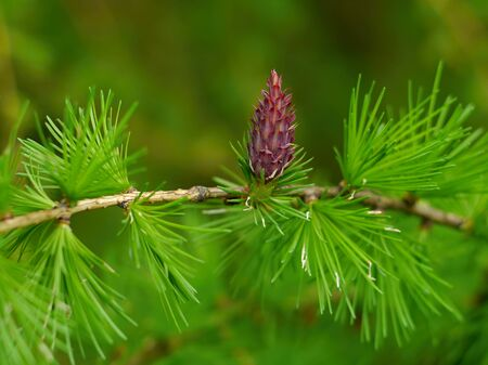 larch: Larch cone blooming