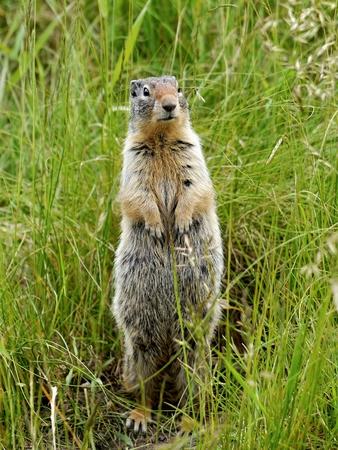 banff: Ground Squirrel. Banff National Park, Canada