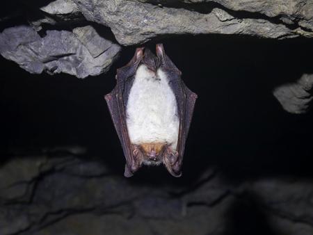 Chauve-souris dans la grotte