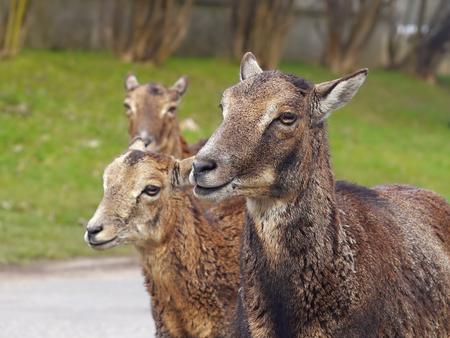 mouflon: Mouflon deer female portrait Stock Photo