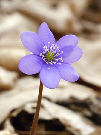 liverwort: Hepatica Liverwort - flower of spring