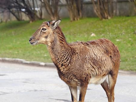 mouflon: mouflon roe