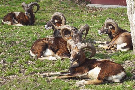 mouflon: Mouflon herd resting on the grass Stock Photo