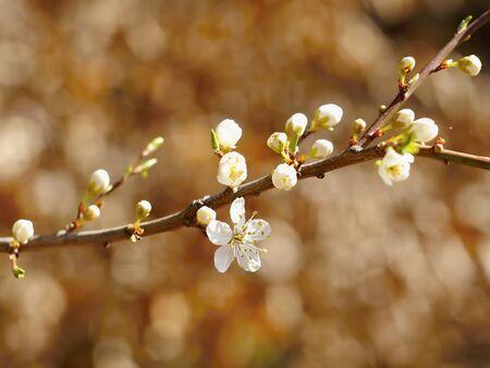 back lighting: Blackthorn blossom in the sun back lighting Stock Photo