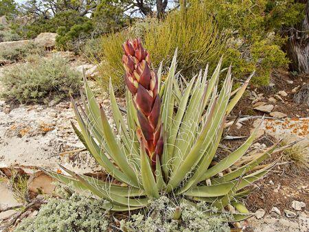 Yucca cactus flower Stock Photo