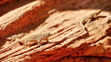 desert lizard: Lizard in the desert Stock Photo