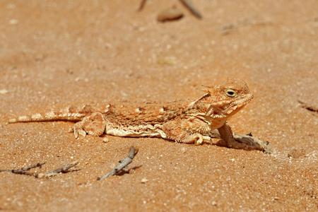 desert lizard: Lizard in the sand in the desert