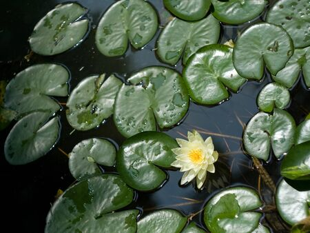 Image of white water lily with green leaves and reflection photo