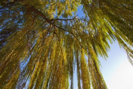 weeping willow tree: Image of willow with beautiful green leaves on the sky at sunset