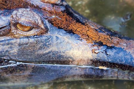 reptile: crocodile close up at bali reptile park, Indonesia Stock Photo