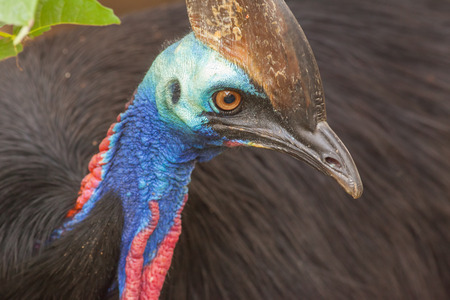 cassowary: Cassowary - the largest bird in Australia and the second largest bird in the world Stock Photo