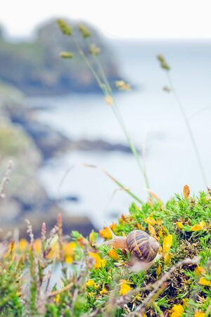 spite: The image of snail on bright flowers that grow in spite of the harsh climate . In the background a coastline with high cliffs. Bretagne, France.
