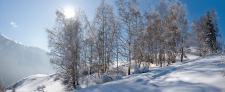 european white birch: Snowy winter in forest. Amazing place for activity extreme sport in Almaty, Kazakhstan, Asia