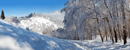 european white birch: Snowy winter in mountain forest. Amazing place for activity extreme sport and climbing in Almaty, Kazakhstan, Asia Stock Photo