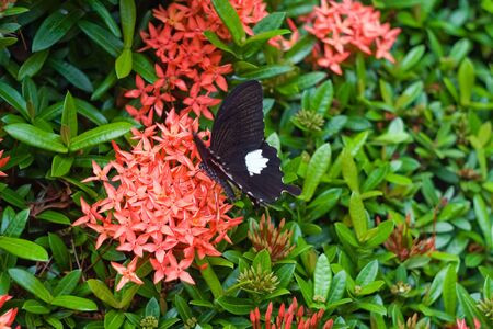 clima tropical: Imagen de uno negro mariposa en las flores exóticas hermosas de clima tropical.