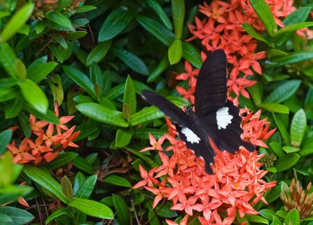 tropical climate: Image of one black butterfly on beatiful exotic flowers of tropical climate.