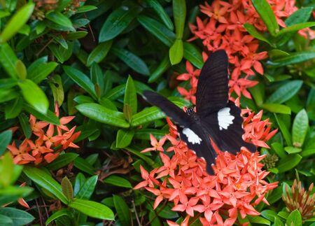 clima tropical: Imagen de uno negro mariposa en las flores ex�ticas hermosas de clima tropical.