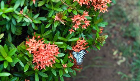 tropical climate: Image of one white butterfly on beatiful exotic flowers of tropical climate.