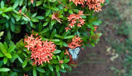 clima tropical: Imagen de uno mariposa blanca en flores exóticas hermosas de clima tropical.