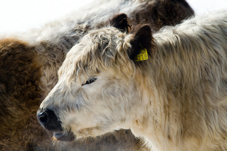 young cow: Portrait of young cow in Switzerland, Grindelwald