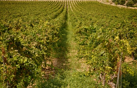 Vineyards in the countryside of Puglia after the harvest Standard-Bild