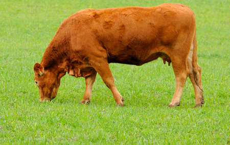 rearing: brown cow in rearing livestock
