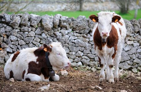 rearing: calves cow in rearing livestock