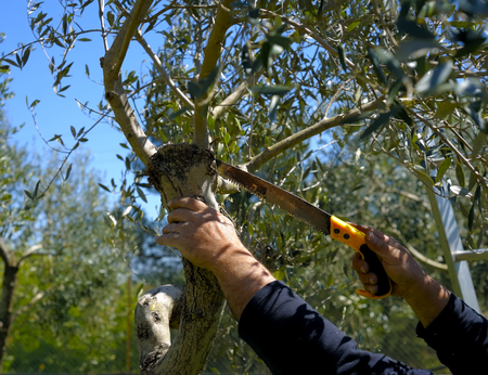 tree cutting: Pruning olive tree of apulia. Good agricultural practice against Xylella
