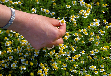 handcarves: Fingers picking up a daisy at springtime. Stock Photo