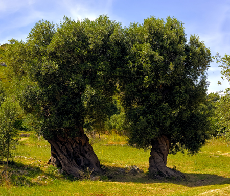 secular: olive trees secular in the countryside of Apulia. Italy