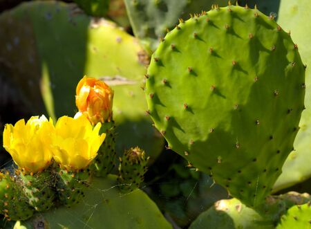 stingy: Prickly pear cactus with yellow flowers in springtime