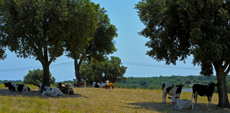 defend: Cows Murgia defend themselves from the summer heat in the shade of a large oak trees. Apulia