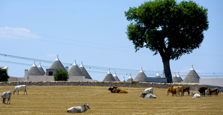 trulli: Cows are ruminating in the countryside of Puglia on a hot summer day. In the background trulli