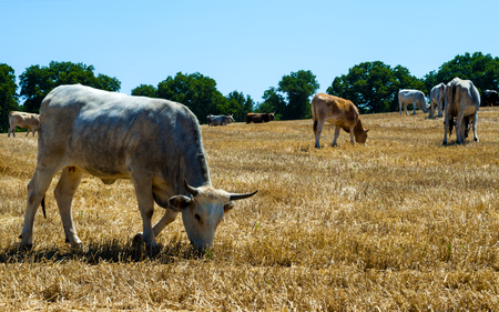 Cows in a meadow, apulia countryside landscape