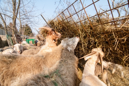 ewes: free eating sheep on the farm in italy