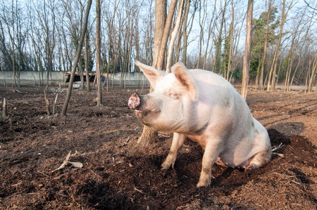 pig on the farm in italy photo