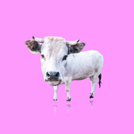 funny puppet isolated white cow on white background photo