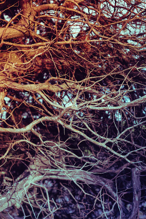 twining: Close up on twisted leafless branches. Vintage filtered, organic backdrop, texture.