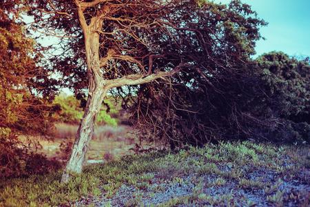 Vire van geïsoleerde boom, buig door wind, in dennenbos op Sardinië Stockfoto - 64614259